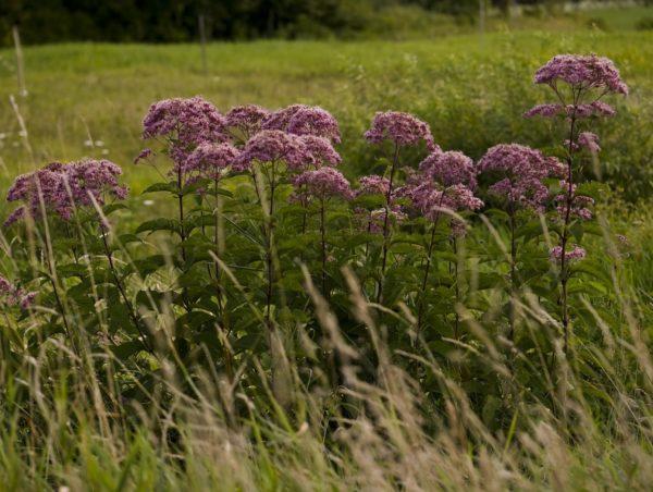Medi-Flowery korzeń sadźca purpurowego 40 g